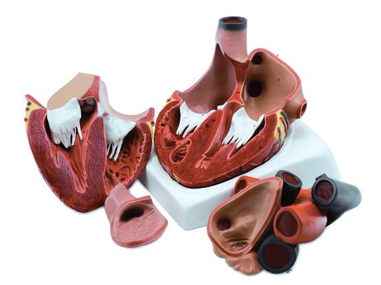 40072-modello-anatomico-cuore-divisibile