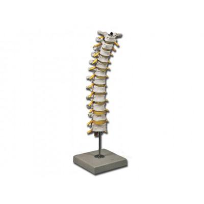 MODELLO COLONNA VERTEBRALE TORACICA - SCALA 1:1 - Dim: 12x12xh40 cm