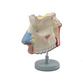 MODELLO CAVITÀ NASALE - SCALA 3:1 - 3 PARTI - Dim: 15x20xh30 cm
