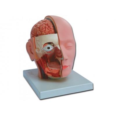 MODELLO ANATOMICO TESTA - SCALA 1:1 - 4 PARTI - Dim: 18x25xh23 cm