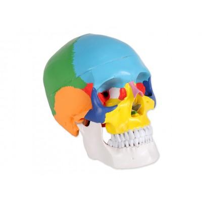 MODELLO CRANIO UMANO IN PVC - 3 PARTI - SCALA 1:1 - Colorato - Value