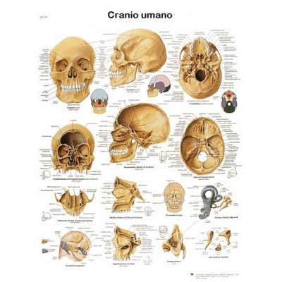 POSTER DEL CRANIO UMANO - Dim: 50x67 cm