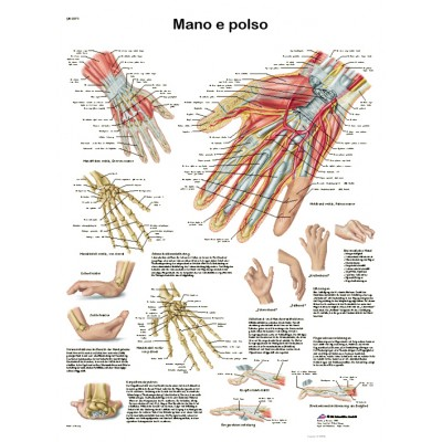POSTER MANO E POLSO - Dim: 50x67 cm